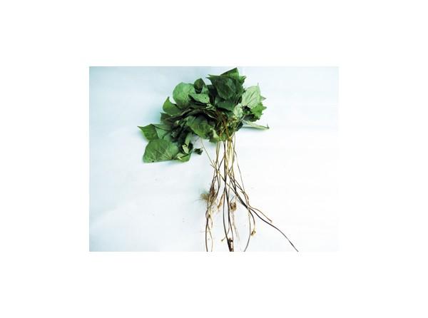 음양곽(삼지구엽초)
